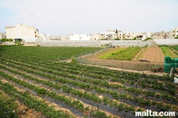 The St Andrew's Farm in Swieqi