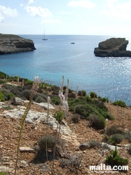 Flowers of Comino and the sea