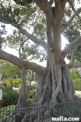 Long roots' tree in the Argotti Botanical park in Floriana