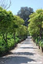 Orange trees path