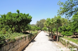 Path inside the Buskett Gardens between the Orange trees