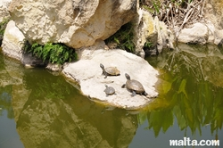 Turtles in the Garden of Serenity in Santa Lucija