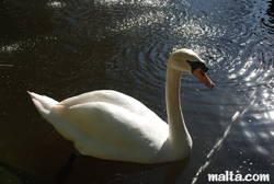 swan at the St. Anton Gardens Attard