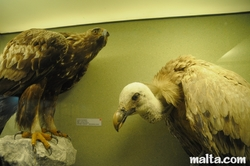 eagle and volture at the National Museum of Natural History