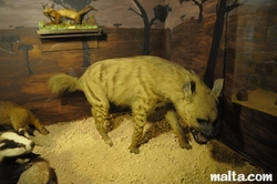 hyena at the National Museum of Natural History