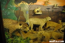leopards at the National Museum of Natural History