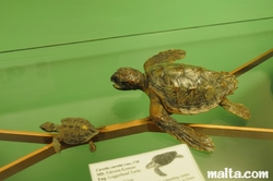 loggerhead turtles at the National Museum of Natural History