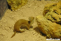 maltese weasel at the National Museum of Natural History
