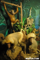 monkeys and apes at the National Museum of Natural History