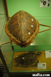 turtles at the National Museum of Natural History