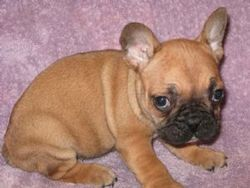 Guide Dog Rehoming >> French bull dog puppies - Malta Classified Ads